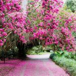 Bright pink azalea flowers bloom over a walkway. The bright pink leaves have fallen across the walk way and luscious greenery is throughout the background of the park.